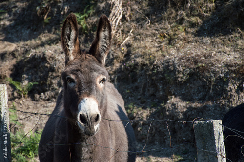 Head of a female donkey leaning over a little fence