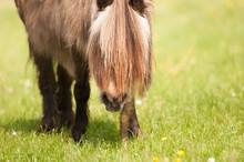 Zotteliges Kleines Pony Auf De...