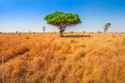 African Acacia Tree In Serengeti National Park In Tanzania