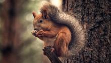 Brown Squirrel Sitting On A Tr...