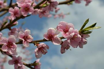 Naklejka Egzotyczne Kwitnące drzewo, pięknie, wiosna