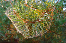 Pine Needles In A Spider Web I...