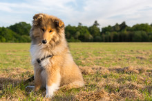 Adorable Rough Collie Puppy Si...