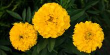 Three Yellow Beautiful Flowers Marigolds In The Garden.