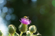 Bee On Purple Thistle Flower