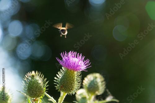 Fototapeta bee on purple thistle flower