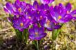 Krokuss im Frühjahr