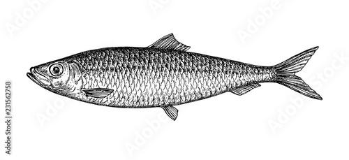 Valokuva  Ink sketch of herring.