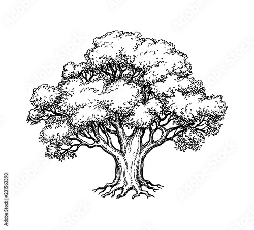 Fototapeta Ink sketch of oak tree.