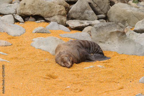 Fotografia  Seal lying in front of the sea