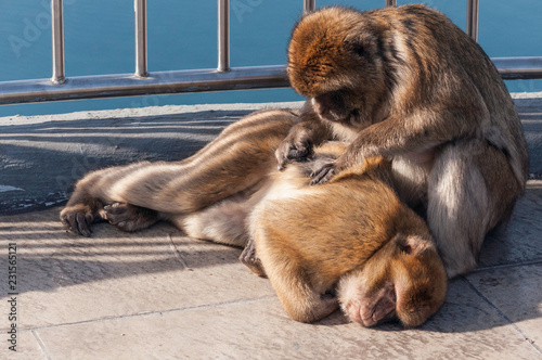 Valokuva  One monkey picking fleas from another that is laying down, very relaxed