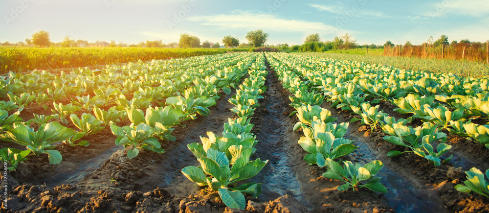 Fototapeta cabbage plantations grow in the field. vegetable rows. farming, agriculture. Landscape with agricultural land. crops. selective focus
