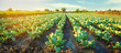 canvas print picture - cabbage plantations grow in the field. vegetable rows. farming, agriculture. Landscape with agricultural land. crops. selective focus