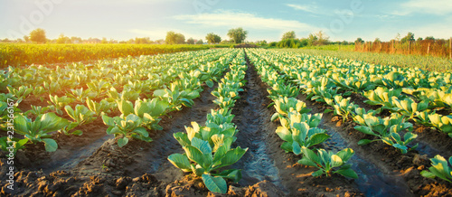 Garden Poster Culture cabbage plantations grow in the field. vegetable rows. farming, agriculture. Landscape with agricultural land. crops. selective focus
