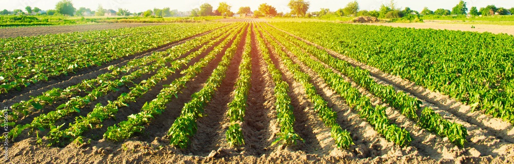 Fototapety, obrazy: vegetable rows of pepper grow in the field. farming, agriculture. Landscape with agricultural land. selective focus