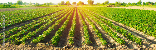 Aluminium Prints Culture vegetable rows of pepper grow in the field. farming, agriculture. Landscape with agricultural land. selective focus