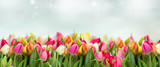 Fototapeta Tulipany - tulips in garden on blue sky background wide banner