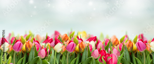 Fototapeta tulips in garden on blue sky background wide banner obraz
