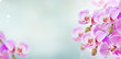 bunch of pink orchid branches on blue bokeh background banner