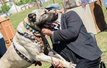 Turkish Breed Shepherd Dog Kan...