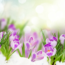 Spring Crocuses Flowers Under Snow On Garden Bokeh Background Close Up