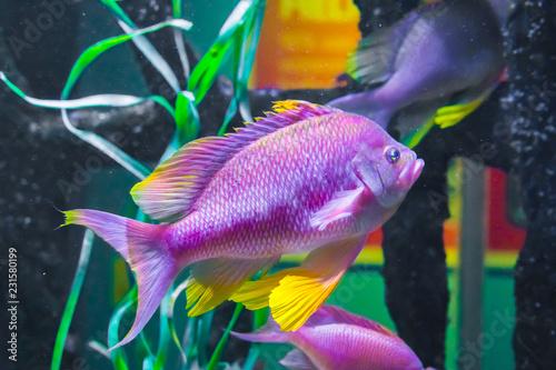 Valokuvatapetti beautiful vibrant pink purple and yellow colored cichlid tropical fish underwate