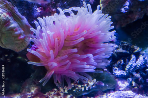 white and pink sea anemone animal flower in an aquatic underwater sea landscape Canvas-taulu