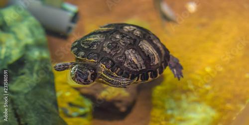 Foto op Aluminium Schildpad crowned river turtle swimming in the water animal water reptile pet portrait