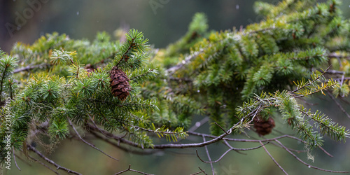 Fotografie, Obraz  Pine Needles in the Rain
