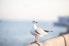 Larus Brunnicephalus, Seagull, Is A Medium To Large Bird. , Gray Or White Hair, Long Mouth, And Large Feet. Are Combined Into A Large Crowd. Trivia Along The Coast
