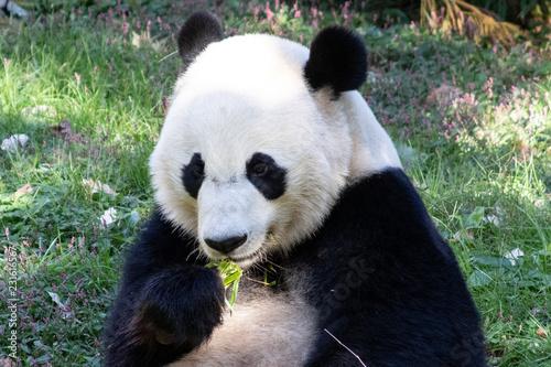 Fotografia, Obraz  Panda Eating Bamboo