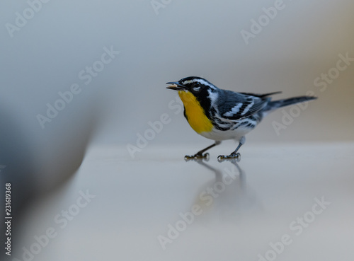 Photo Yellow-throated Warbler sitting on a reflecting white surface, eating