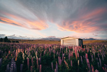 Lupins In Meadow During Sunset