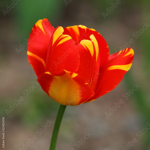 Foto op Aluminium Tulp red Tulip in the grass