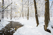 The Forest Landscape. A Frozen River In The Snow-covered Forest, Golden Leaves On The Trees, Sunny Winter Day. Latvia