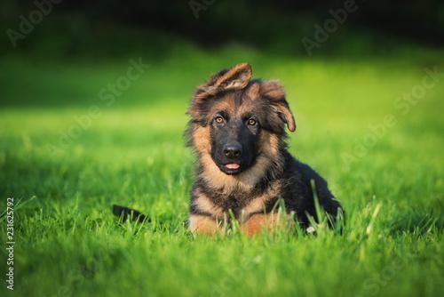 Fotografía German shepherd puppy