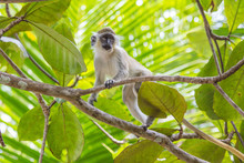 Green Tailed Monkey In Trees