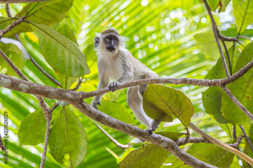 Green Tailed Monkey in Trees Wallpaper Mural