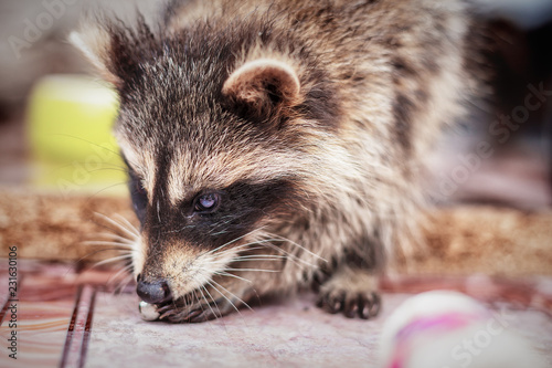 portrait of little playful racoon animal playing with toy