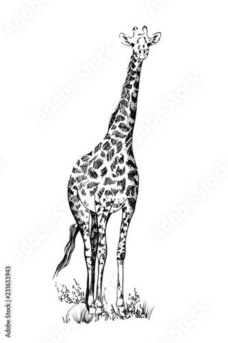 Fototapeta premium Żyrafa ręcznie rysowane ilustracje