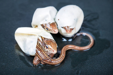 Little Sand lizards hatching from an eggs, selective focus