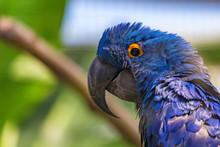 Portrait Of Hyacinth Macaw Or ...