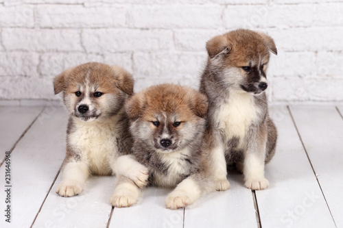 Obraz Japanese Akita-inu, akita inu dog puppys - fototapety do salonu