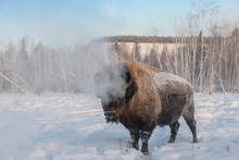 Yakut Bison Reaches 2.5-3 Mete...