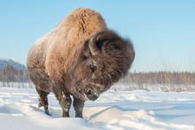 Yakut Bison Reaches 2.5-3 Mete...
