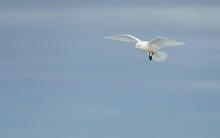 Ivory Gull (Pagophila Eburnea)...