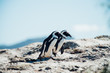 canvas print picture - Couple of black and white penguins having fun at the ocean Boulders beach. South africa