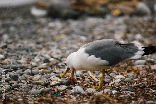 Staande foto Vogel Ocean white bird catching and start eating a fish on a stone beach