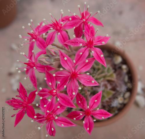 Fotografie, Obraz  Succulenta fiorita Graptopetalum bellum (Tacitus bellus)