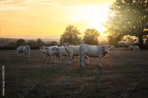 Poster de jardin Vache Vache Charolaise au couché du soleil